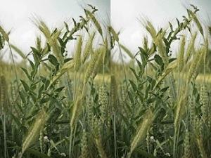 Resultado de imagen para Dejen que crezcan juntos hasta el tiempo de la cosecha.